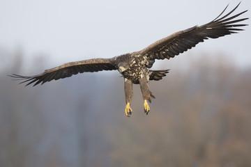 Seeadler - Anflug