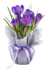 Crocuses in a pot wrapped in interlinings