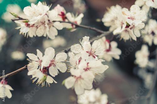 cherry blossom outdoors - 60352896