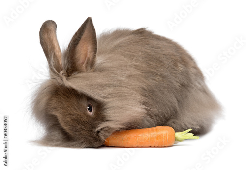 Cute chocolate lionhead bunny rabbit is eating a carrot
