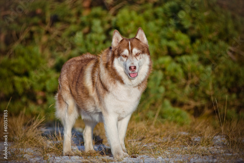 siberian husky dog in the forest