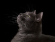 british shorthair cat looking into darkness