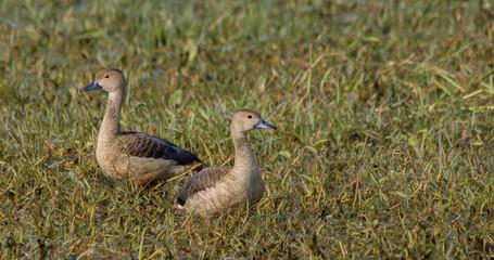 Lesser Whistling Ducks (Dendrocygna Javanica)
