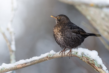 Blackbird in natural winter habitat