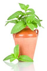 Mint in a pot over white background