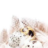 Group of Raw Quail Eggs with feathers macro. HQ photo of quail e