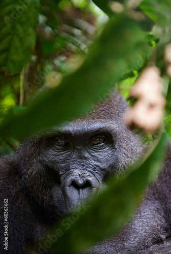 Poster Aap Portrait of a female of The western lowland gorilla