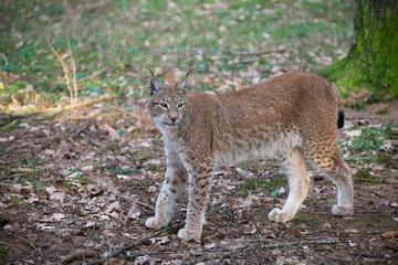 Lynx lynx auf der Jagd