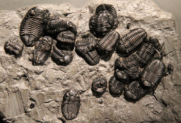 A Collection of Trilobite Stone Fossil Remains.