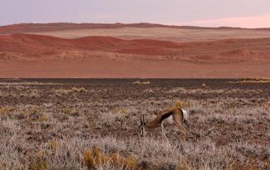 Springbok in Sossusvlei Dunes, Namibia