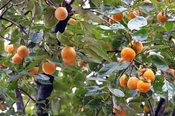 Japanese persimmon tree ( kaki )