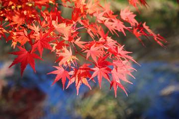 Japanese maple tree leaves ( momiji )