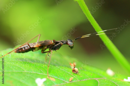 Ant like Mantis (Odontomantis sp) in Sri Lanka