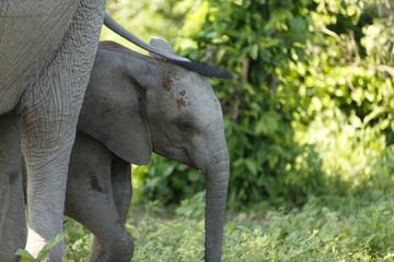 Elefantenbaby unter Mutterschwanzmama