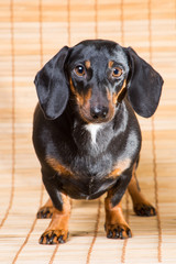 portrait of dachshund