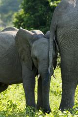 Elefantenbaby hinter Mutterschwanz