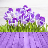 Spring background crocuses wooden panel