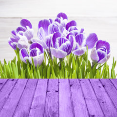 Spring background crocuses wooden panel