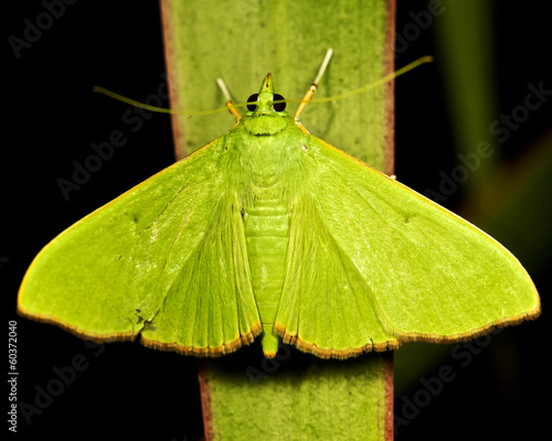 green moth on a green leaf, on a black background