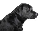 Black Labrador retriever profile