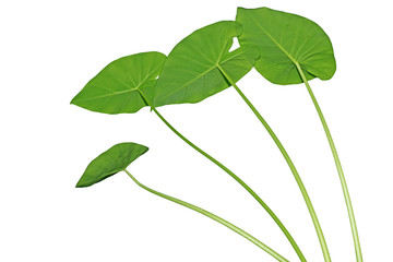Elephant Ears Taro Leaves