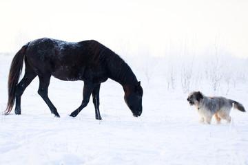 Black stallion and briard dog