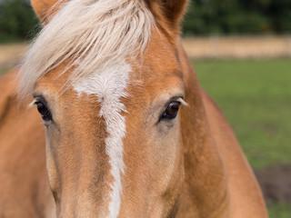 Pferde- Pferderassen - Haflinger - Stirnpartie