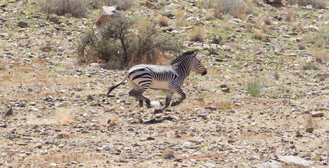 Frightened zebra running and leaving a dust trail