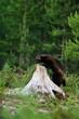 ������, ������: Wolverine in forest