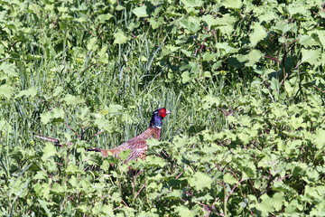 beautiful male pheasant hiding in grass