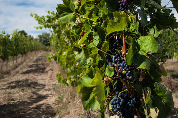 Vignes de raisin noir.