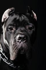 big dog italian cane corso
