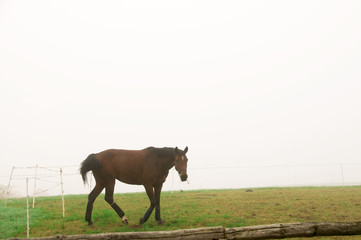 A horse grazing  in the fog.
