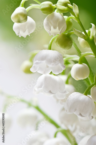Delicate flowers on a branch of lily of the valley