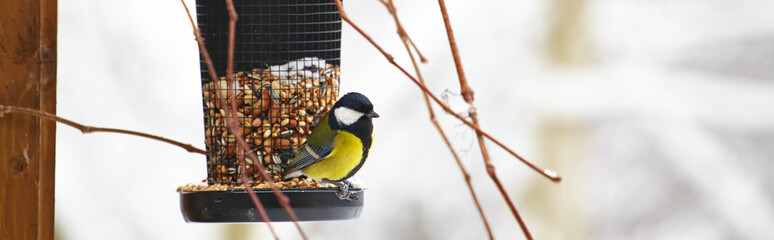 Bluetit sitting on a birdfeeder with peanuts
