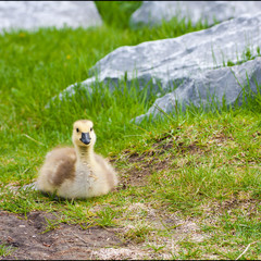 Cute lone gosling sitting on grass in the park.