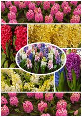 Collage. Spring hyacinths (Lat. Hyacinthus)