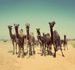 camels during festival in India -  vintage retro style