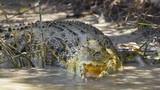 Large Saltwater crocodile. poster