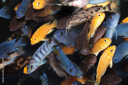 African Cichlids (Blue and lavender mbuna) aquarium fishes