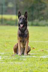 berger belge malinois en ring