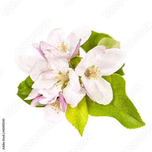 Foto op Plexiglas Magnolia Apple blossom isolated