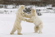 Two polar bears play fighting.
