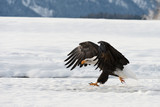 BALD EAGLE ( Haliaeetus leucocephalus ) walk on the snow