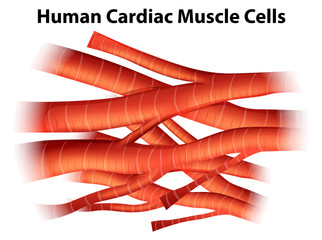 Human cardiac muscle cells