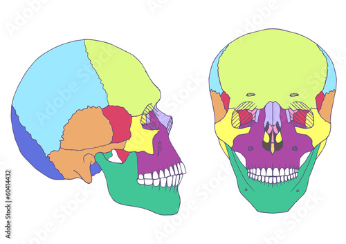 human skull anatomy, medical illustration, front and side view