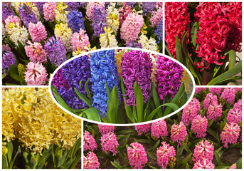 Collage. Blossoming garden hyacinths (Lat. Hyacinthus)