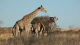 Giraffes feeding on bushes, South Africa