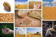 canvas print picture - Weizen und Brot