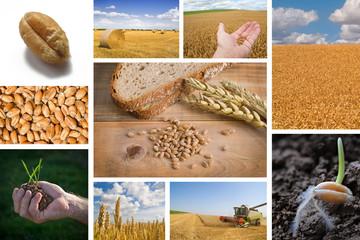 Weizen und Brot